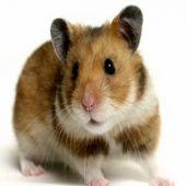 Como Cuidar de Um Hamster