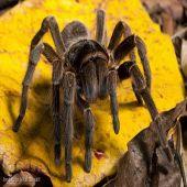 Curiosidades Sobre a Aranha Caranguejeira