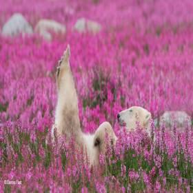 Ursos Polares brincam em campos de Flores